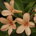 Picture of Rhododendron Vireya Maid Marion