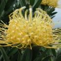 Picture of Leucospermum Lorita