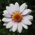 Picture of Daisy Barbie