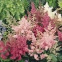 Picture of Astilbe Show Star