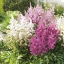 Picture of Astilbe Grande