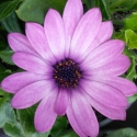 Picture of Osteospermum Pink