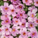 Picture of Bacopa Pink