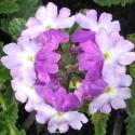 Picture of Verbena Blue Lavender