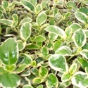 Picture of Coprosma Silver Queen