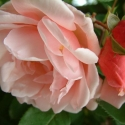 Picture of Albertine Clg-Rose