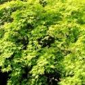 Picture of Acer P Aureum H/W 60 cm