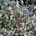 Picture of Coprosma Rhamnoides