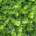 Picture of Lonicera Pileata