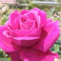 Picture of Loving Care-Rose