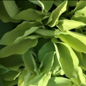 Picture of Hosta Lime Passion