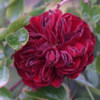 Picture of Indian Ruby 1.8m Weeper-Rose