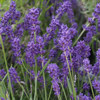 Picture of Lavender Foveaux Storm