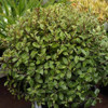 Picture of Pittosporum Humpty Dumpty
