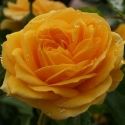 Picture of Absolutely Fabulous 1.5m Pillar-Rose