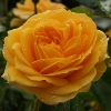 Picture of Absolutely Fabulous Std 80cm-Rose