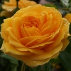 Picture of Absolutely Fabulous-Rose