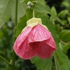 Picture of Abutilon Hot Pink