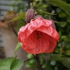 Picture of Abutilon Red