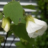 Picture of Abutilon White