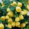 Picture of Abutilon Yellow Dwarf