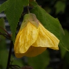 Picture of Abutilon Yellow