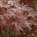 Picture of Acer Aratama Multileader