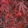 Picture of Acer Beni Otake