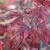 Picture of Acer Bloodgood L/W