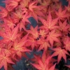 Picture of Acer Chishio