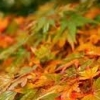 Picture of Acer Coonara Pygmy H/W