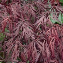 Picture of Acer Crimson King H/W