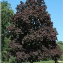 Picture of Acer Crimson King