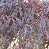 Picture of Acer Crimson Princess H/W