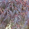 Picture of Acer Crimson Princess L/W