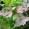 Picture of Acer Esk Flamingo