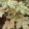 Picture of Acer Esk Sunset