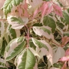 Picture of Acer Flamingo L/W