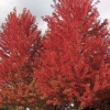 Picture of Acer Freemanii Jeffersred