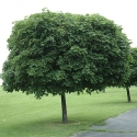 Picture of Acer Globosum 1.5m H/W