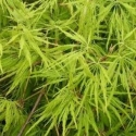 Picture of Acer Green Cascade L/W