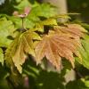 Picture of Acer Jap Vitifolium