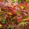 Picture of Acer Kamagata H/W 50cm