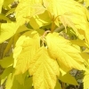 Picture of Acer Kellys Gold