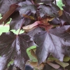 Picture of Acer Nigrum L/W