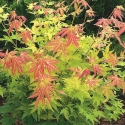 Picture of Acer Orange Dream