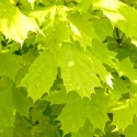 Picture of Acer Princeton Gold