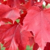 Picture of Acer Red Sunset