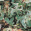 Picture of Acer Roseo Marginatum