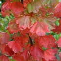 Picture of Acer Rubrum Columnare